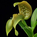 Bulbophyllum grandiflorum sur plaque
