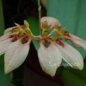 Bulbophyllum weberi sur plaque