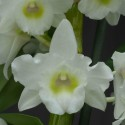 Dendrobium Spring Dream 'Apollon' sur plaque