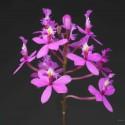 Epidendrum ibaguense sur plaque