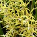 Miltonia flavescens sur plaque