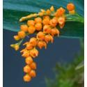 Pleurothallis truncata