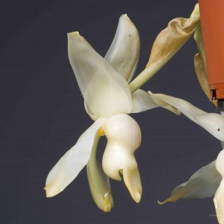 Stanhopea Souvenir de Marie-France Bourdon