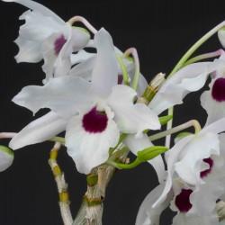 Dendrobium lituiflorum var. album sur plaque