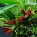 Orchidées pour terrarium