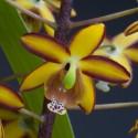 Orchidées rares