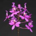 Orchidées botaniques