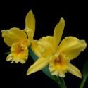 Orchidées fleuries