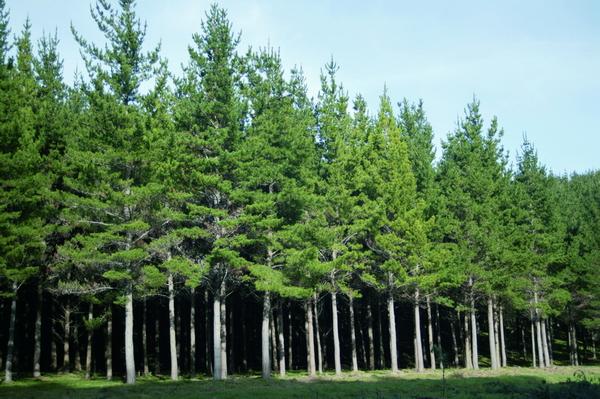 Forêt de pinus radiata
