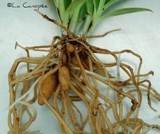 Disa racines nues