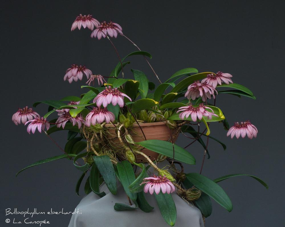 Bulbophyllum eberhardtii 0514-01-t_r.jpg