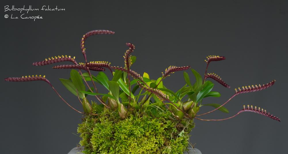 Bulbophyllum falcatum 0415-01-t_redimens