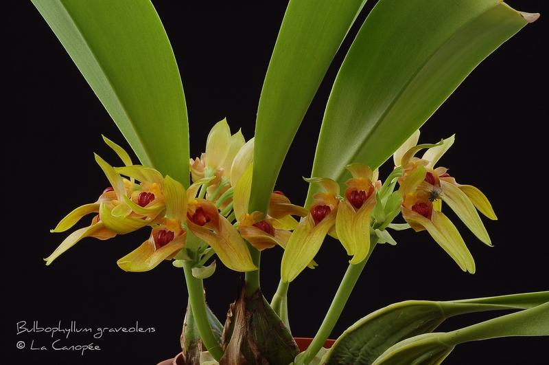 Bulbophyllum graveolens 0609 - 3-t_1.jpg