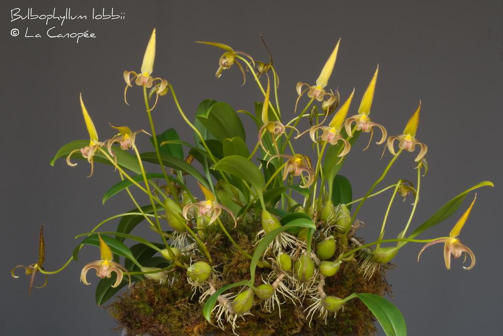 Bulbophyllum lobbii 0615-01-t_redimensio