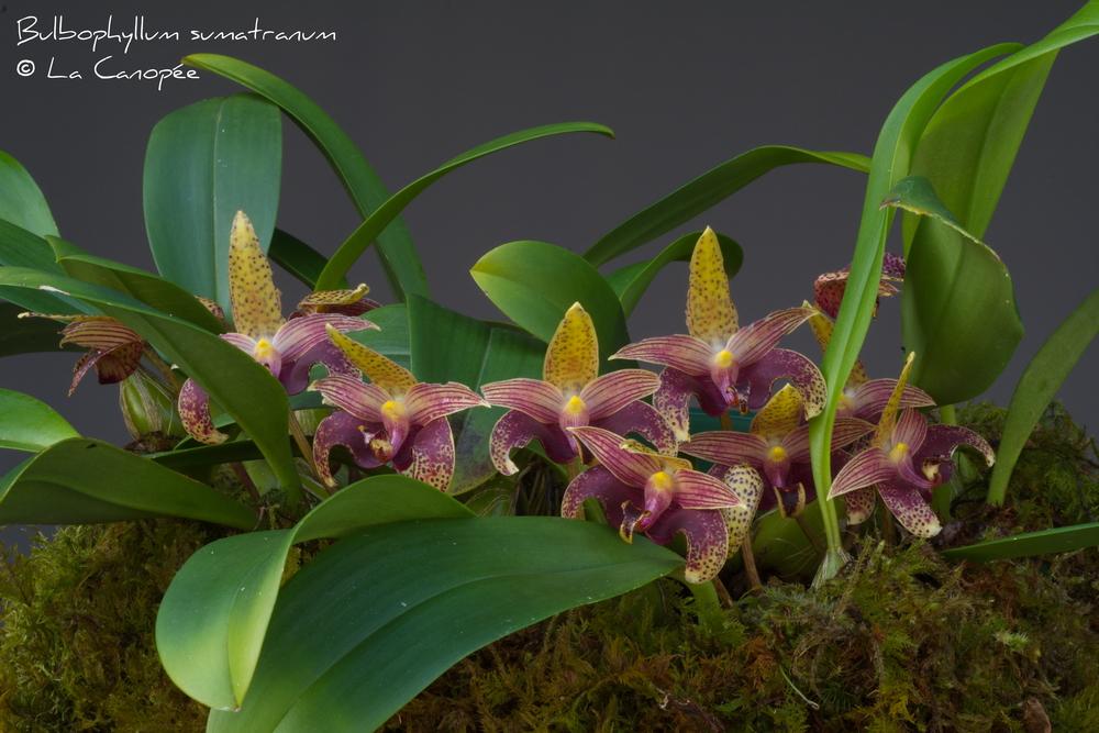 Bulbophyllum sumatranum 0515-t_redimensi
